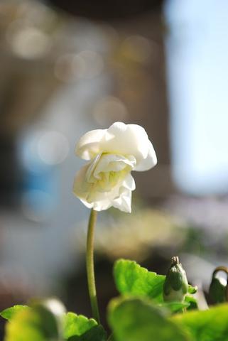 八重咲きニオイスミレ20110227.jpg