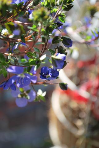 ベロニカ オックスフォードブルー20110227.jpg