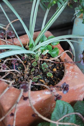 ドラゴンズブラッドとオレガノの寄せ植え20110227.jpg