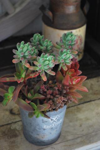 多肉赤の寄せ植え20110305_03.jpg
