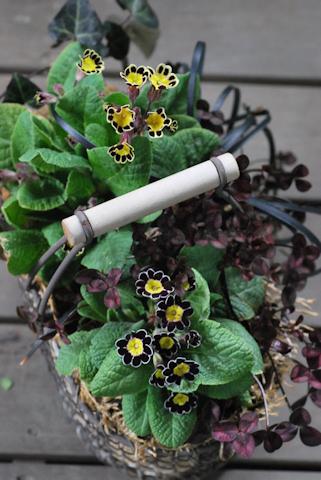 プリムラ ビクトリアナ寄せ植え20110306_02.jpg