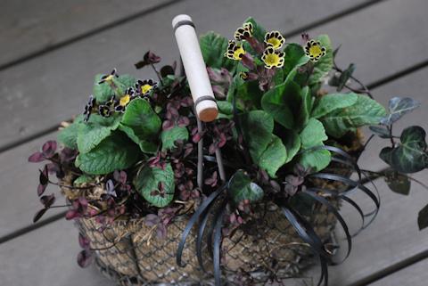 プリムラ ビクトリアナ寄せ植え20110306_03.jpg