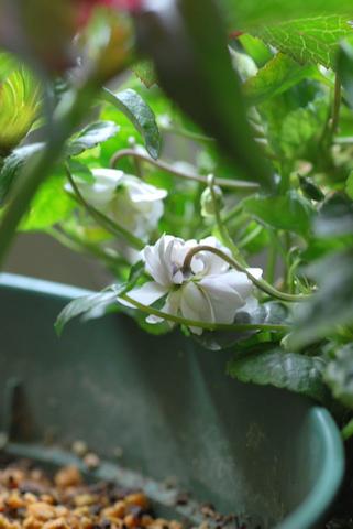 八重咲きニオイスミレ20110308.jpg