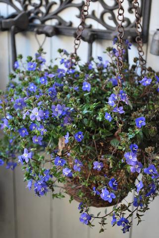 ベロニカ オックスフォードブルー20110313.jpg