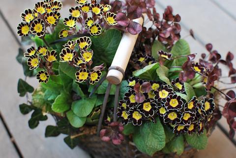 プリムラ ビクトリアナ寄せ植え20110330.jpg