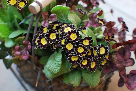 プリムラ ビクトリアナ寄せ植え20110330_03.jpg