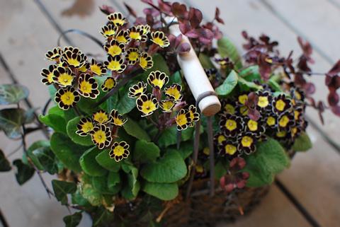 プリムラ ビクトリアナ寄せ植え20110330_05.jpg
