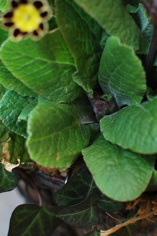 プリムラ ビクトリアナ寄せ植え20110330_04.jpg