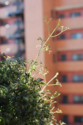 クレマチス ムーンビーム20110412.jpg