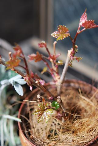 斑入り野ブドウ20110418.jpg