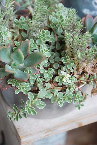 セダムとレズリーの寄せ植え シフォンケーキ型20110429.jpg