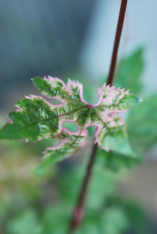斑入り野ブドウ20110503.jpg