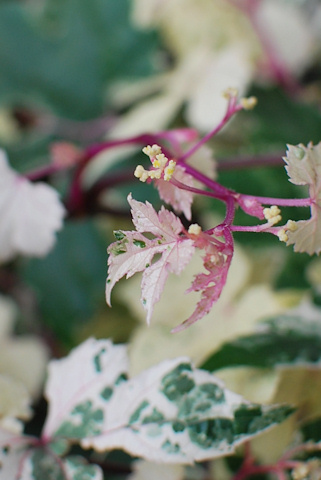 斑入り野ブドウ20110608.jpg