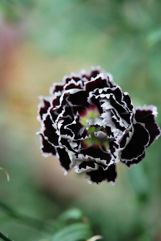 ナデシコ ブラック&ホワイト20110612.jpg