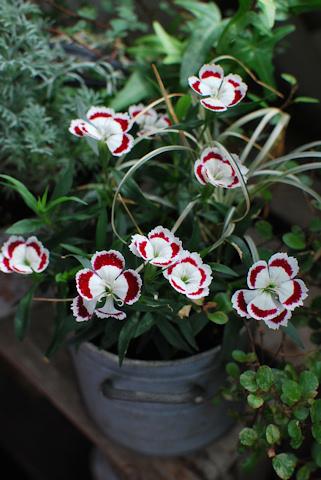 わい性ナデシコ オリビア ホワイトアイ20110615.jpg