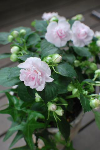 八重咲きインパチェンス アップルブロッサムシルエット20110612.jpg