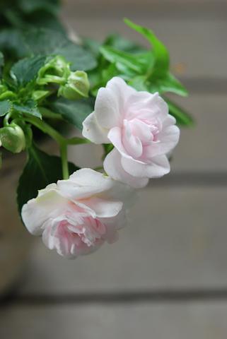 八重咲きインパチェンス アップルブロッサムシルエット20110612_03.jpg