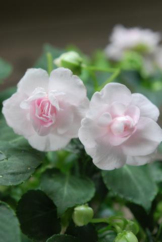 八重咲きインパチェンス アップルブロッサムシルエット20110612_02.jpg
