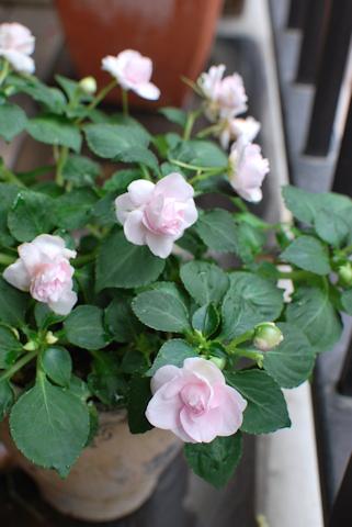 八重咲きインパチェンス アップルブロッサムシルエット20110623.jpg