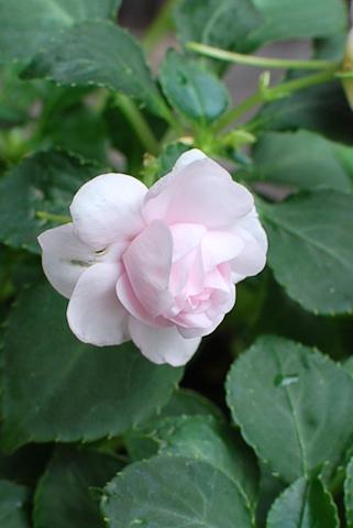 八重咲きインパチェンス アップルブロッサムシルエット20110623_02.jpg