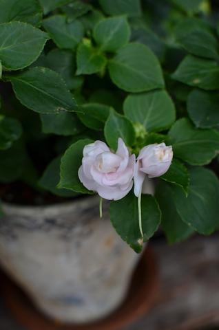 八重咲きインパチェンス アップルブロッサムシルエット20110709.jpg
