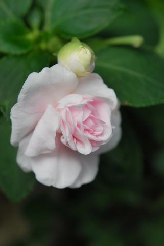 八重咲きインパチェンス アップルブロッサムシルエット20110703.jpg