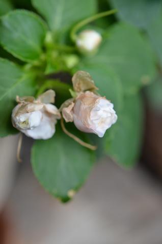 八重咲きインパチェンス アップルブロッサムシルエット20110712.jpg