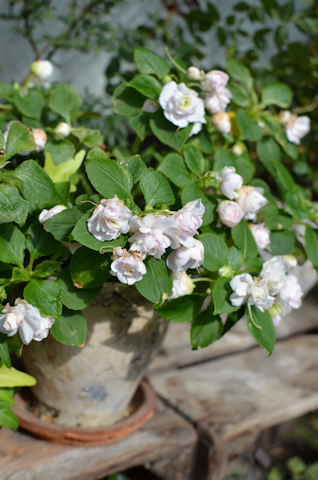 八重咲きインパチェンス アップルブロッサムシルエット20110725.jpg