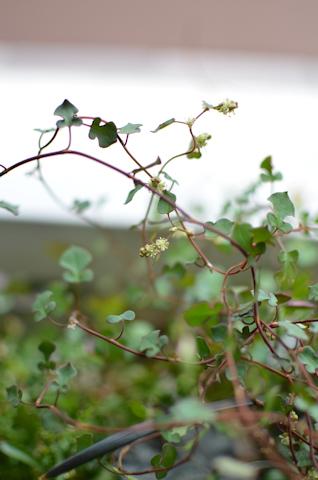 ワイヤープランツ スペード20110802_02.jpg