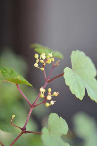 斑入り野ブドウ20110910.jpg