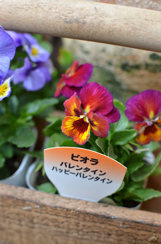 ビオラ ハッピーバレンタイン20111001.jpg