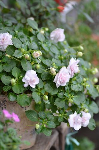 八重咲きインパチェンス アップルブロッサムシルエット20111023.jpg