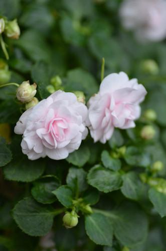 八重咲きインパチェンス アップルブロッサムシルエット20111023_02.jpg