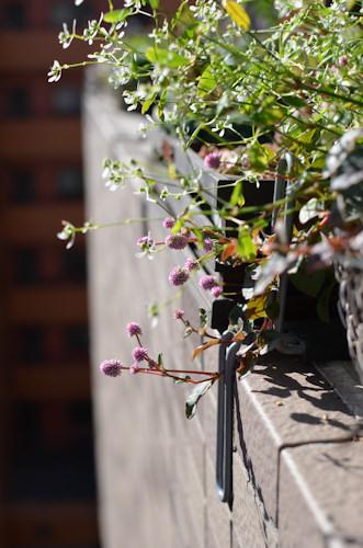 斑入りポリゴナム20111101.jpg