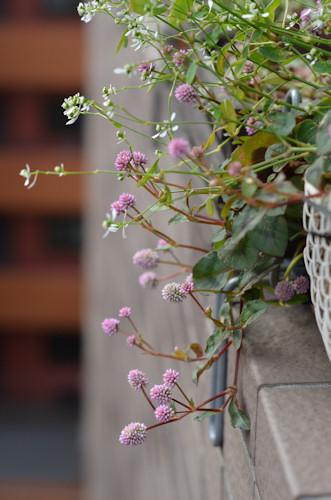 斑入りポリゴナム20111109.jpg