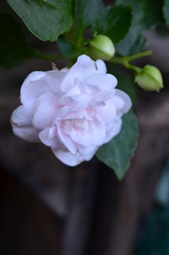 八重咲きインパチェンス アップルブロッサムシルエット20111113.jpg
