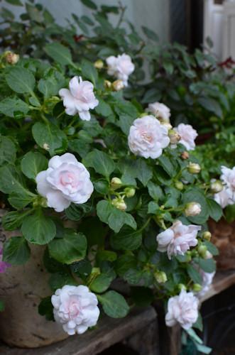 八重咲きインパチェンス アップルブロッサムシルエット20111114.jpg