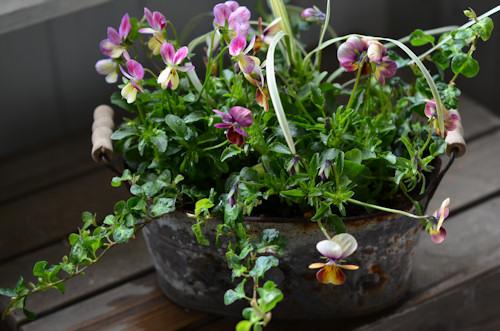 ビオラとプミラの寄せ植えブリキオーバル20111128.jpg