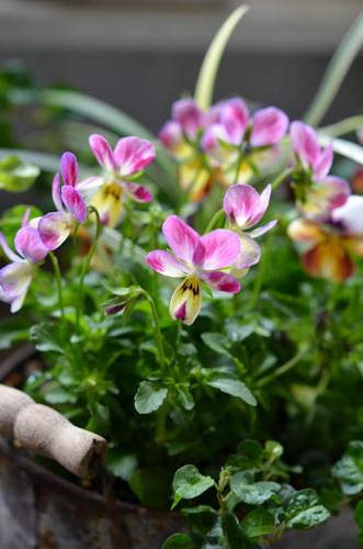 ビオラ FOR YOU20111128.jpg