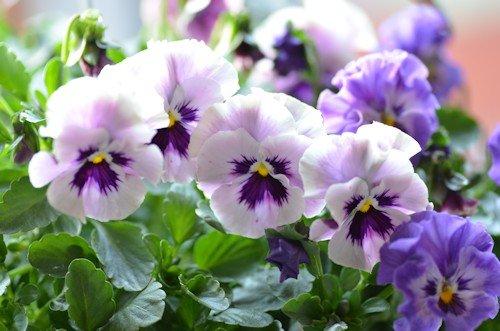フリル咲きビオラ ミルフル20111221_02.jpg