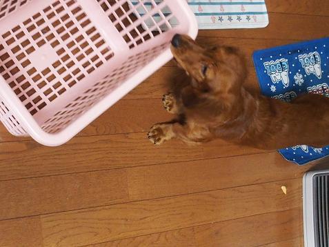 洗濯カゴと戦うでちゅ!