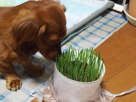 チャロさま、草でしゅよ