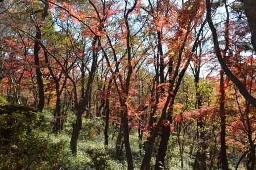 桜ヶ丘公園の紅葉1