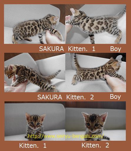 サクラ子猫2011