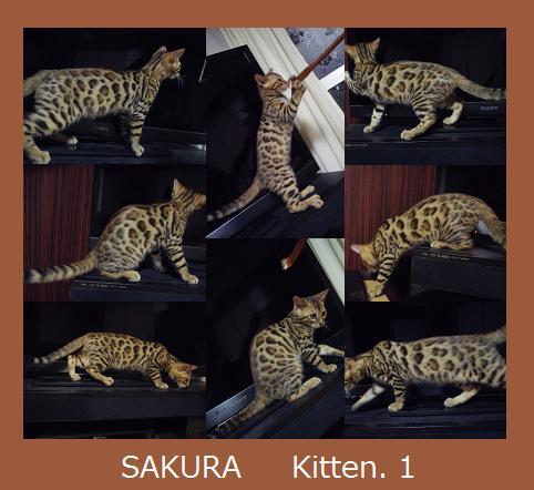 SAKURA Kitten. 1