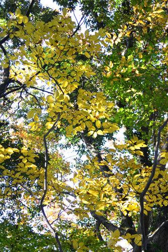 シラキ黄葉