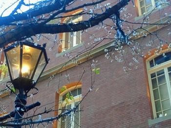 街灯と十月桜