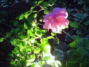 ライトアップな薔薇