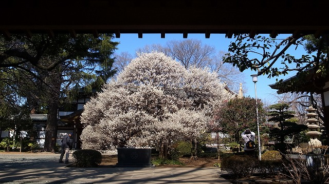 2013-03-06 宝幢寺の梅 047