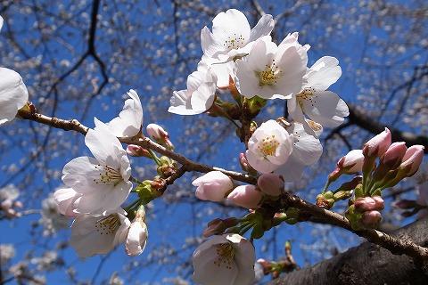 2013-03-21 川越水上公園桜 048